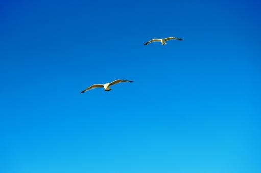 Free Stock Photo of Two seagulls fly side by side