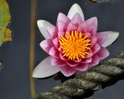 Free Stock Photo of Water Lily Background