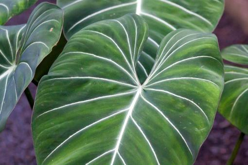 Free Stock Photo of Philodendron Gloriosum