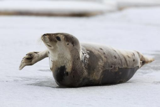 Free Stock Photo of Young Harp Seal