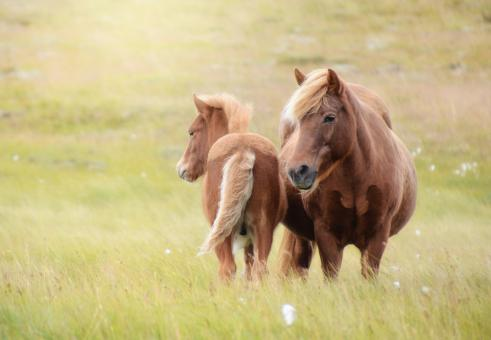 Free Stock Photo of Brown Horses