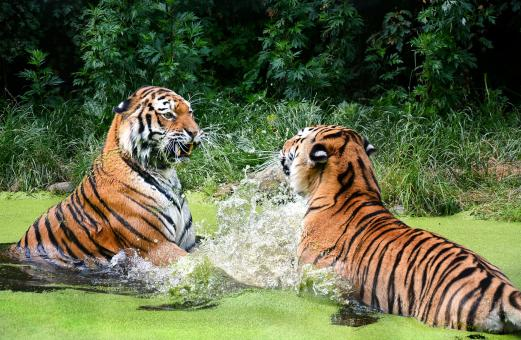 Free Stock Photo of Bengal Tigers
