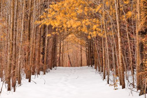 Free Stock Photo of North Point Winter Pine Trail - Gold Fantasy HDR