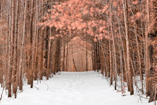 Free Stock Photo of North Point Winter Pine Trail - Pink Fantasy HDR