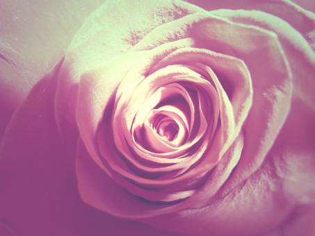 Free Stock Photo of Vintage Rose