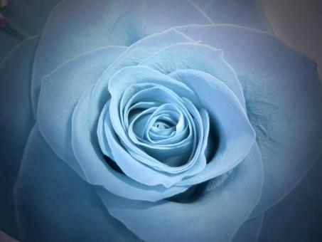Free Stock Photo of Blue Rose