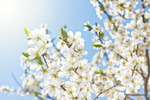 Free Stock Photo of White Spring Flowers