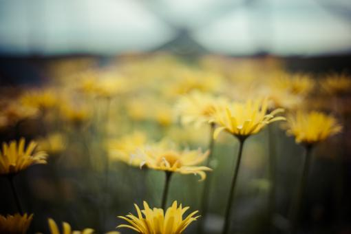 Free Stock Photo of Yellow Icelandic Wildflowers