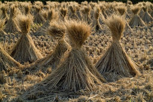 Free Stock Photo of Straw in the Field