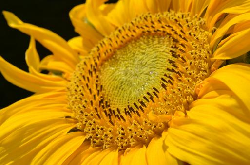 Free Stock Photo of Macro Sunflower