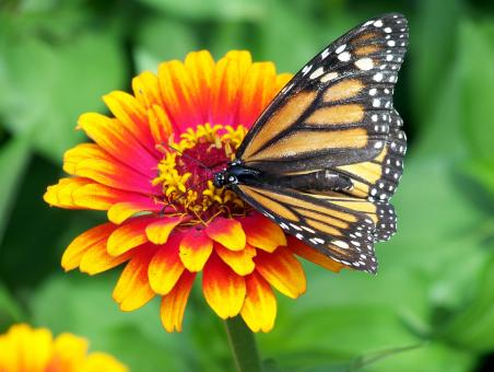 Free Stock Photo of Monarch on the Flower