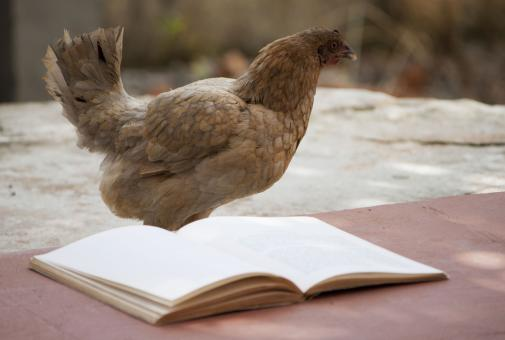 Free Stock Photo of Chicken reading a book