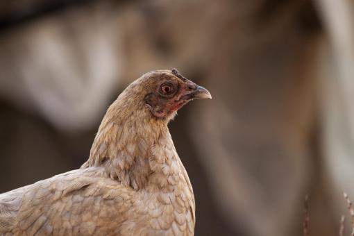 Free Stock Photo of A suspicious looking chicken
