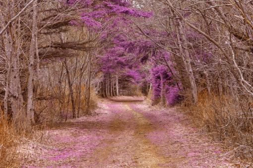 Free Stock Photo of Cavendish Forest Trail - Purple Nostalgia HDR