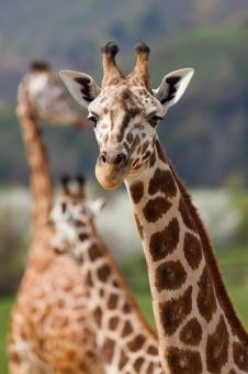 Free Stock Photo of African Giraffe