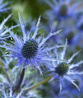 Free Stock Photo of Sea Holly Flower