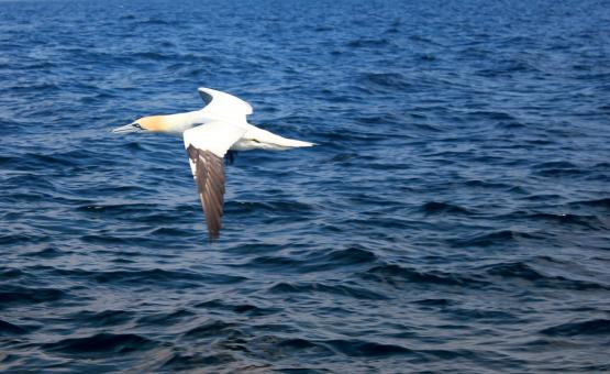 Free Stock Photo of Flying Gannet Out at Sea