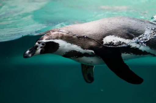 Free Stock Photo of Penguin in the Ocean