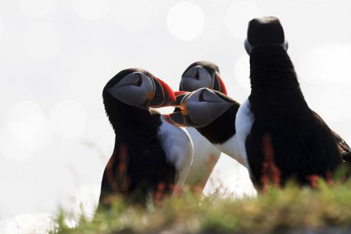 Free Stock Photo of Group of Puffins