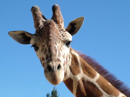 Free Stock Photo of Friendly Giraffe