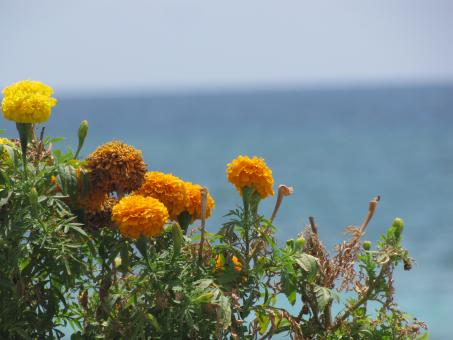 Free Stock Photo of Yellow Summer Flowers with a Sea View