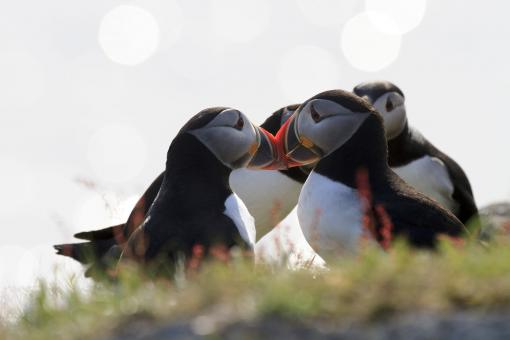 Free Stock Photo of Puffins on sunny day