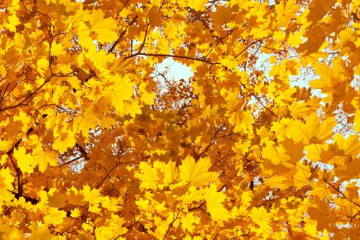 Free Stock Photo of Yellow Autumn Leaves