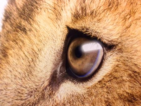 Free Stock Photo of Lions Sad Eyes - Close-Up
