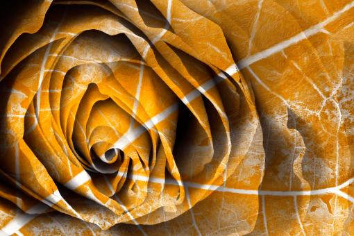 Free Stock Photo of Golden Rose Decay