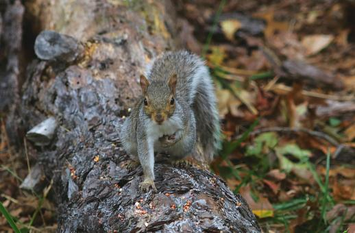 Free Stock Photo of Grey Squirrel Searching for Food