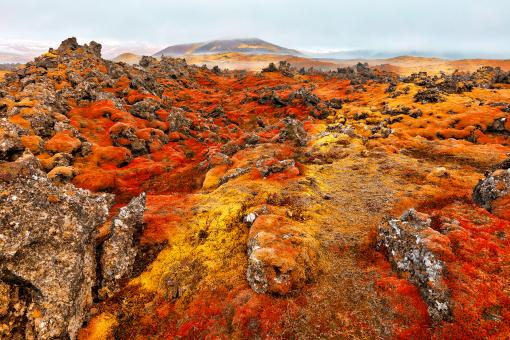 Free Stock Photo of Iceland Moss Inferno