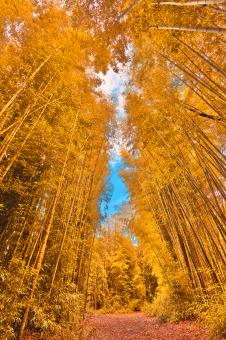 Free Stock Photo of Golden Bamboo Forest