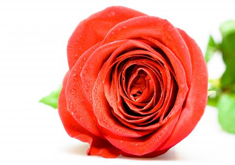 Free Stock Photo of Red Rose Closeup