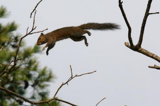 Free Stock Photo of Jumping Squirrel