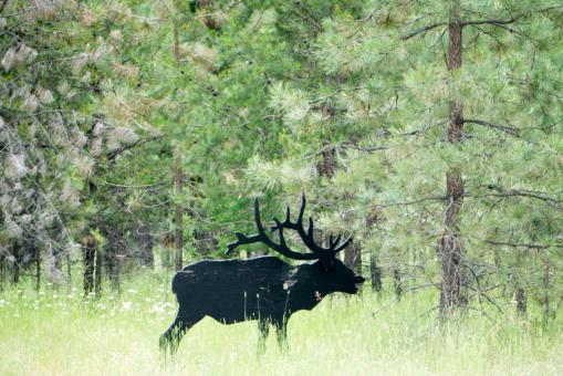 Free Stock Photo of Moose in the Forest