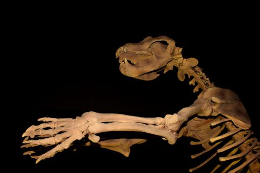 Free Stock Photo of Giant Cave Bear Skeleton - Extinct Megafauna