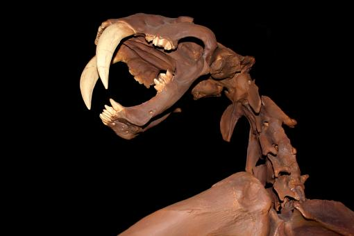 Free Stock Photo of Smilodon - Skull - Saber-Toothed Cat - Skeleton