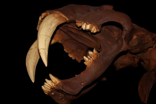 Free Stock Photo of Smilodon - Skull - Saber-Toothed Cat