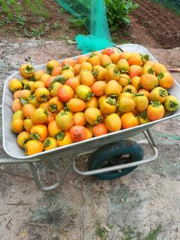 Free Stock Photo of Tomatoes in Wheelbarrow
