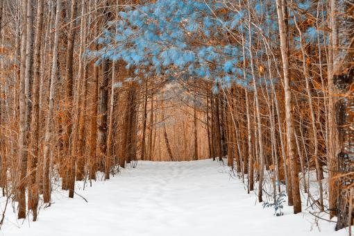 Free Stock Photo of Blue Winter Pine Trail