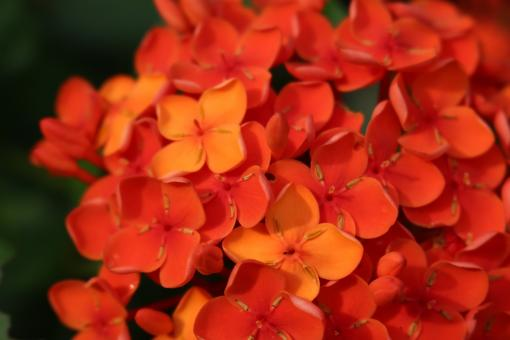 Free Stock Photo of Background of detail of bright orange tropical flowers