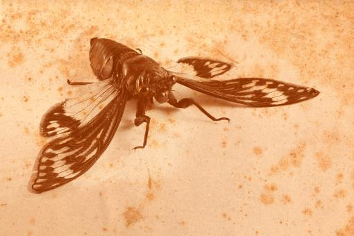 Free Stock Photo of Vintage Sepia Cicada