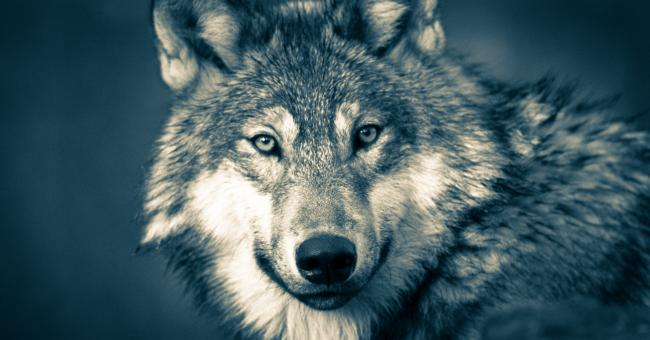 Free Stock Photo of Wolf