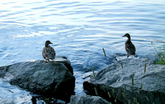 Free Stock Photo of Two female ducks standing on the river bank