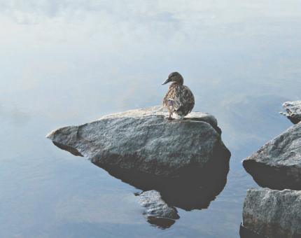 Free Stock Photo of A Lonely Duck Standing on the Rock on the Coast