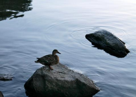 Free Stock Photo of A lonely duck near the coast