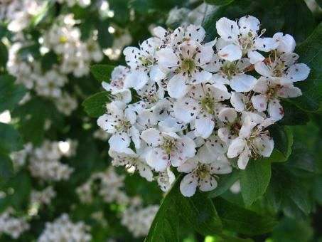 Free Stock Photo of Apple Blossom Cluster