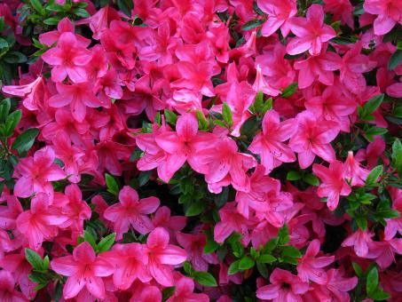 Free Stock Photo of Pink Azaleas in Full Bloom