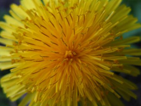 Free Stock Photo of Extreme Close-up of Dandelion Flower