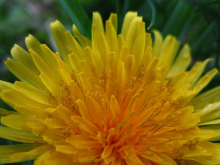 Free Stock Photo of Closeup of Dandelion Flower